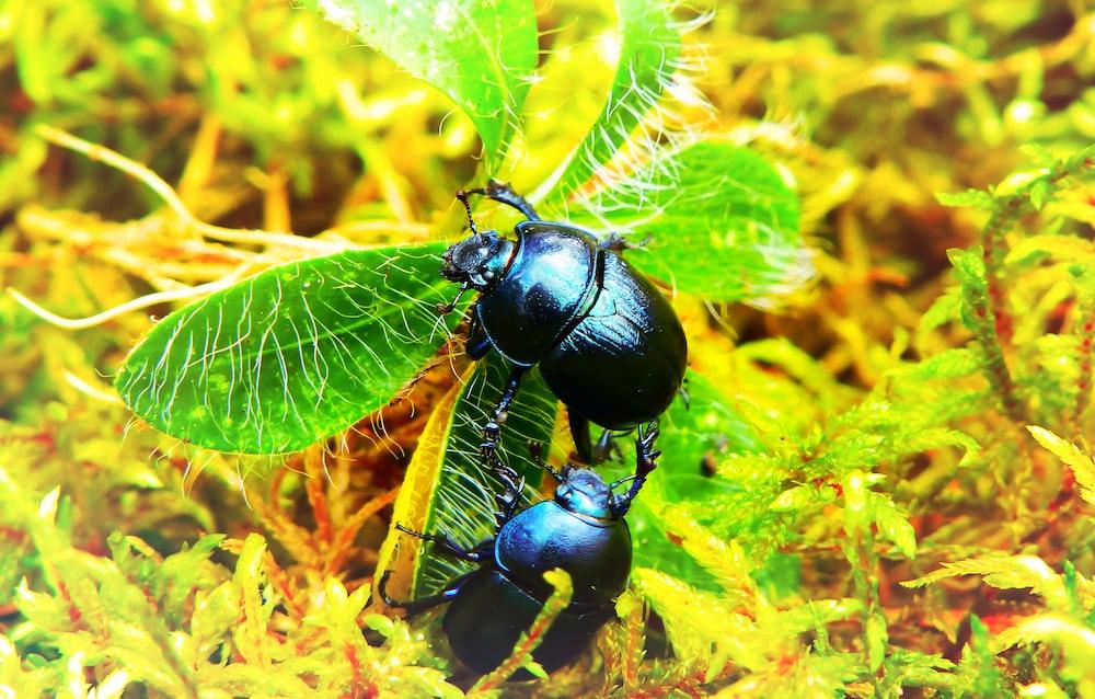 two black dung beetles
