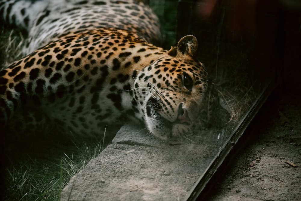 selective focus photo of leopard lying on gray concrete pavement and green grass