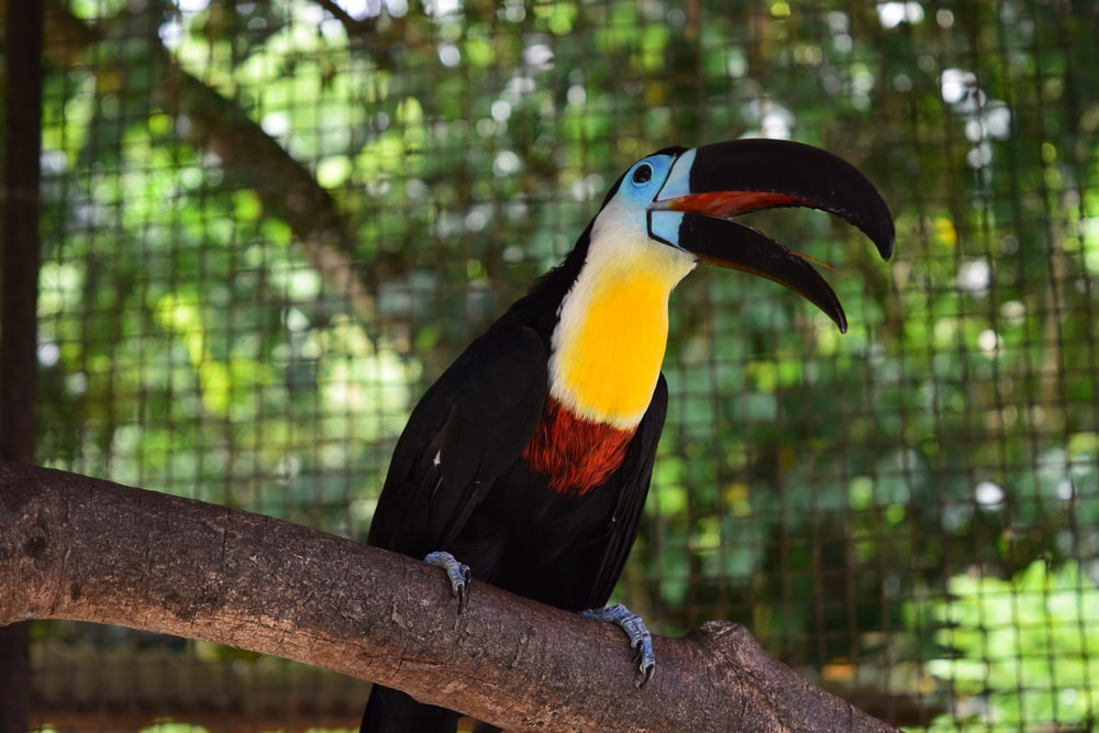 black and multicolored toucan bird on branch