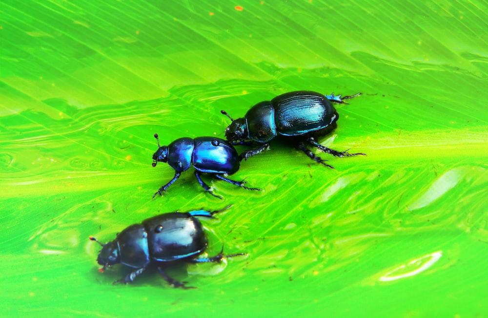 three black beetles