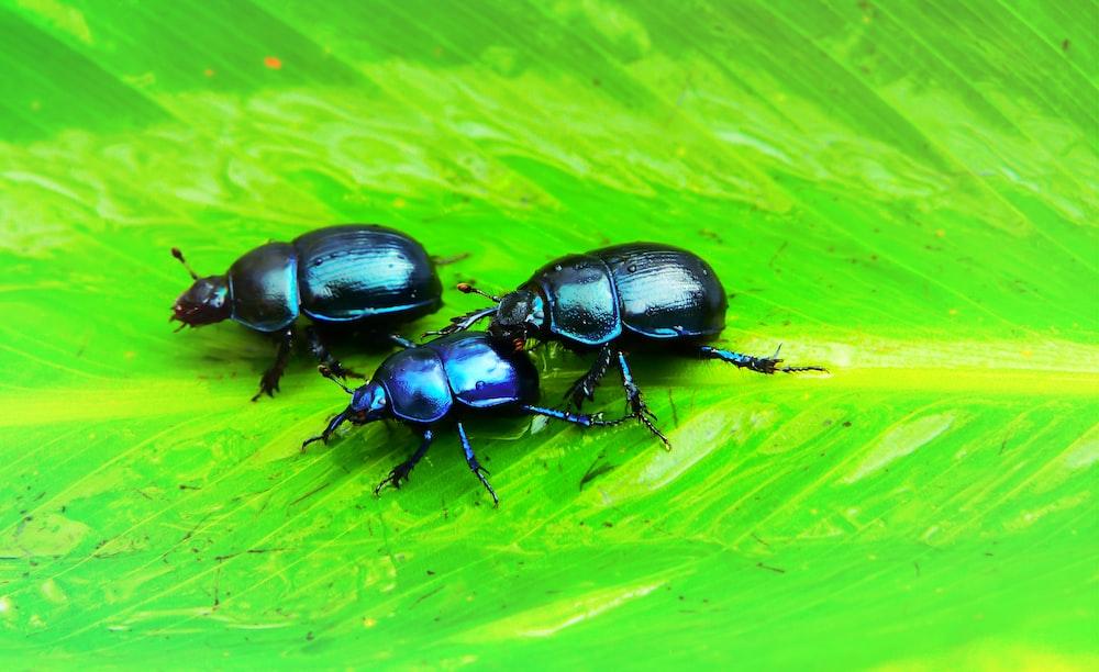 several black beetles