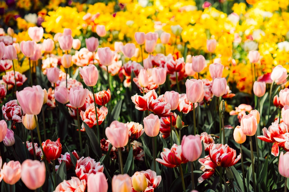 pink, red, and yellow tulip flowers in bloom