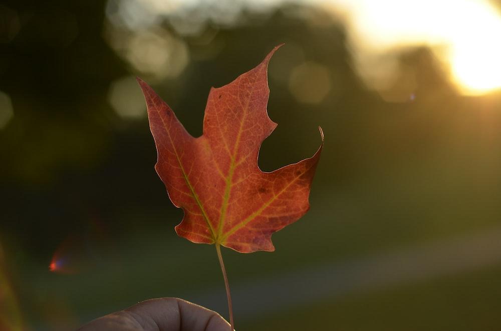 selective focus photography of orange maple leaf