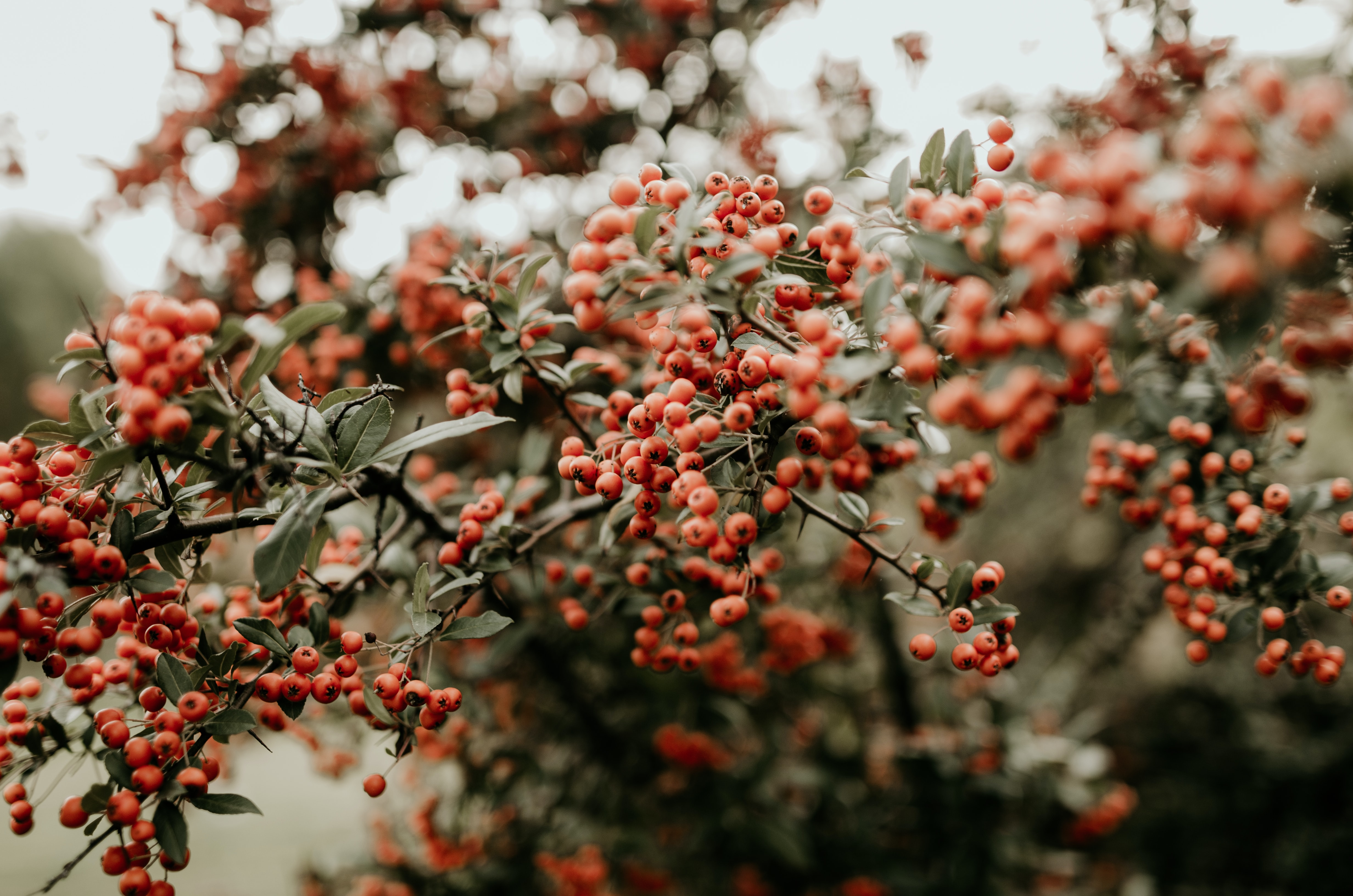 red fruits on tree branch