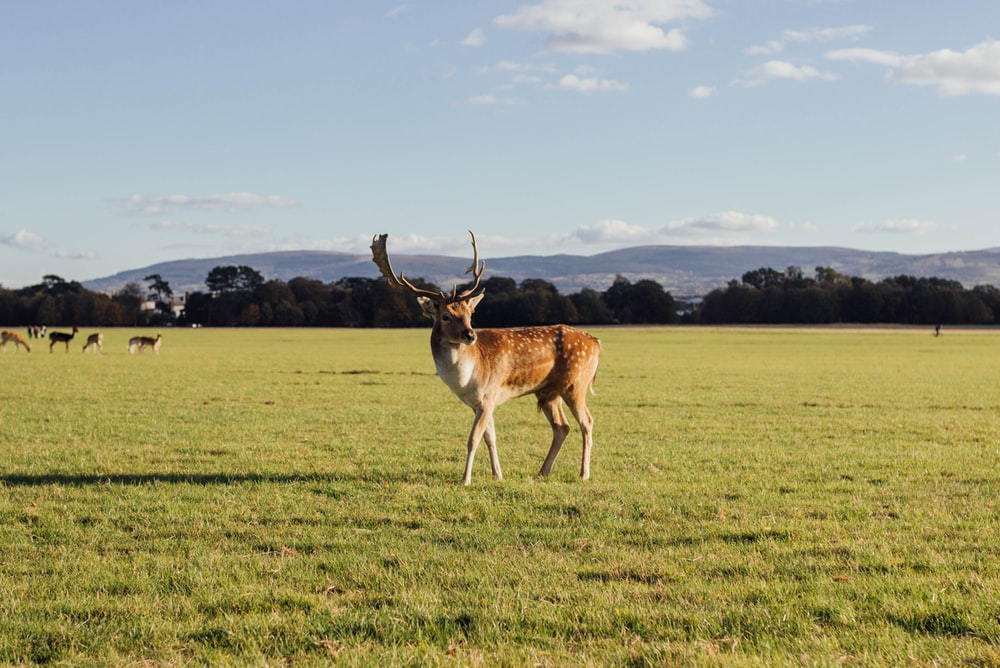 brown deer standing on green grass under blue and white sky