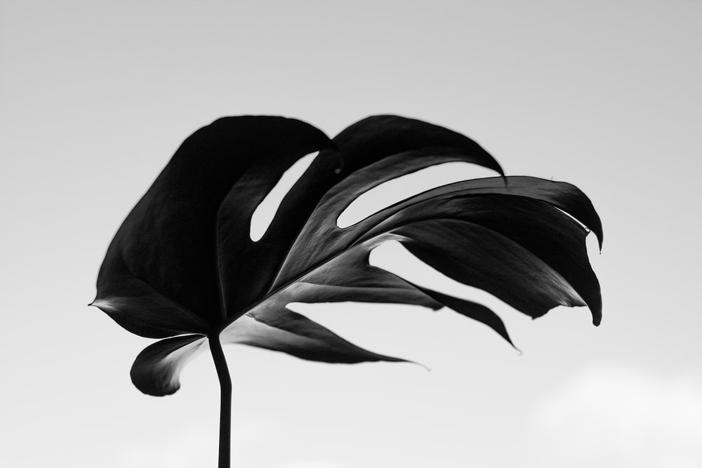 grayscale photography of swisscheese leaf