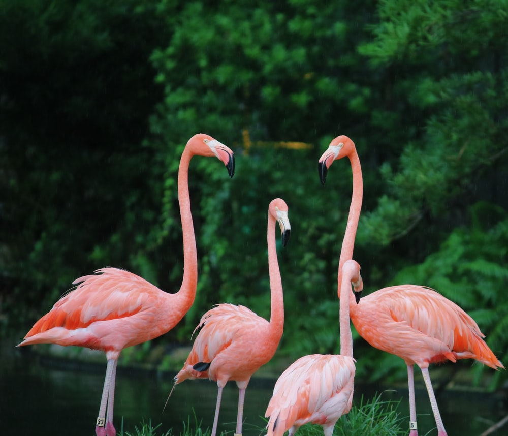 four flamingos