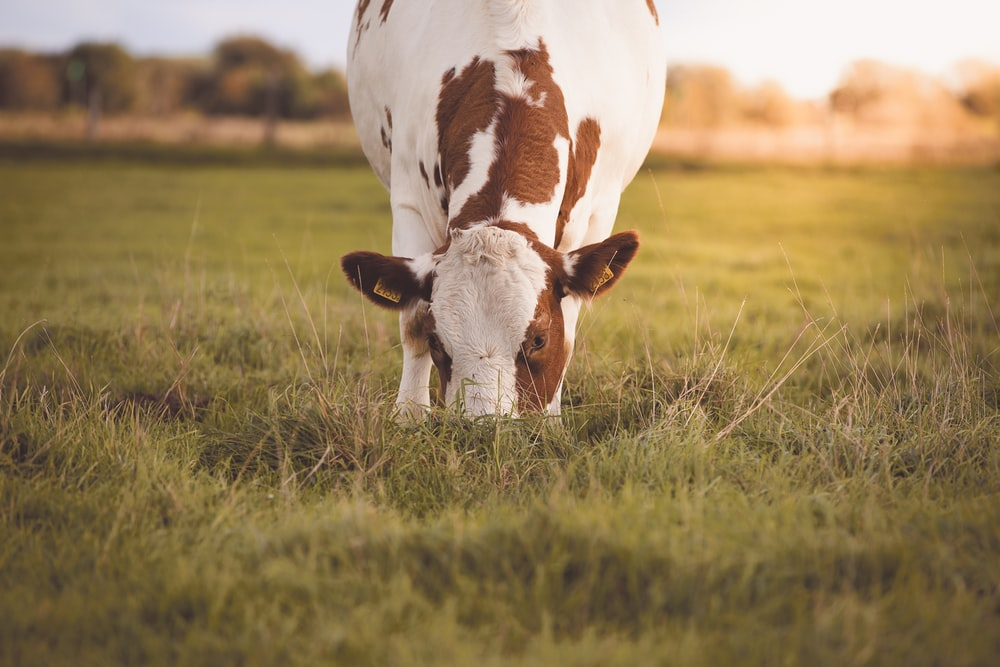 white and brown cow on green grass field