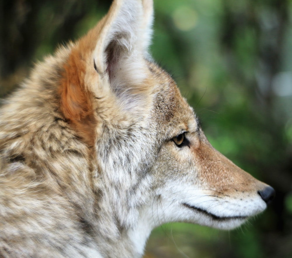 beige and white wolf close-up photo