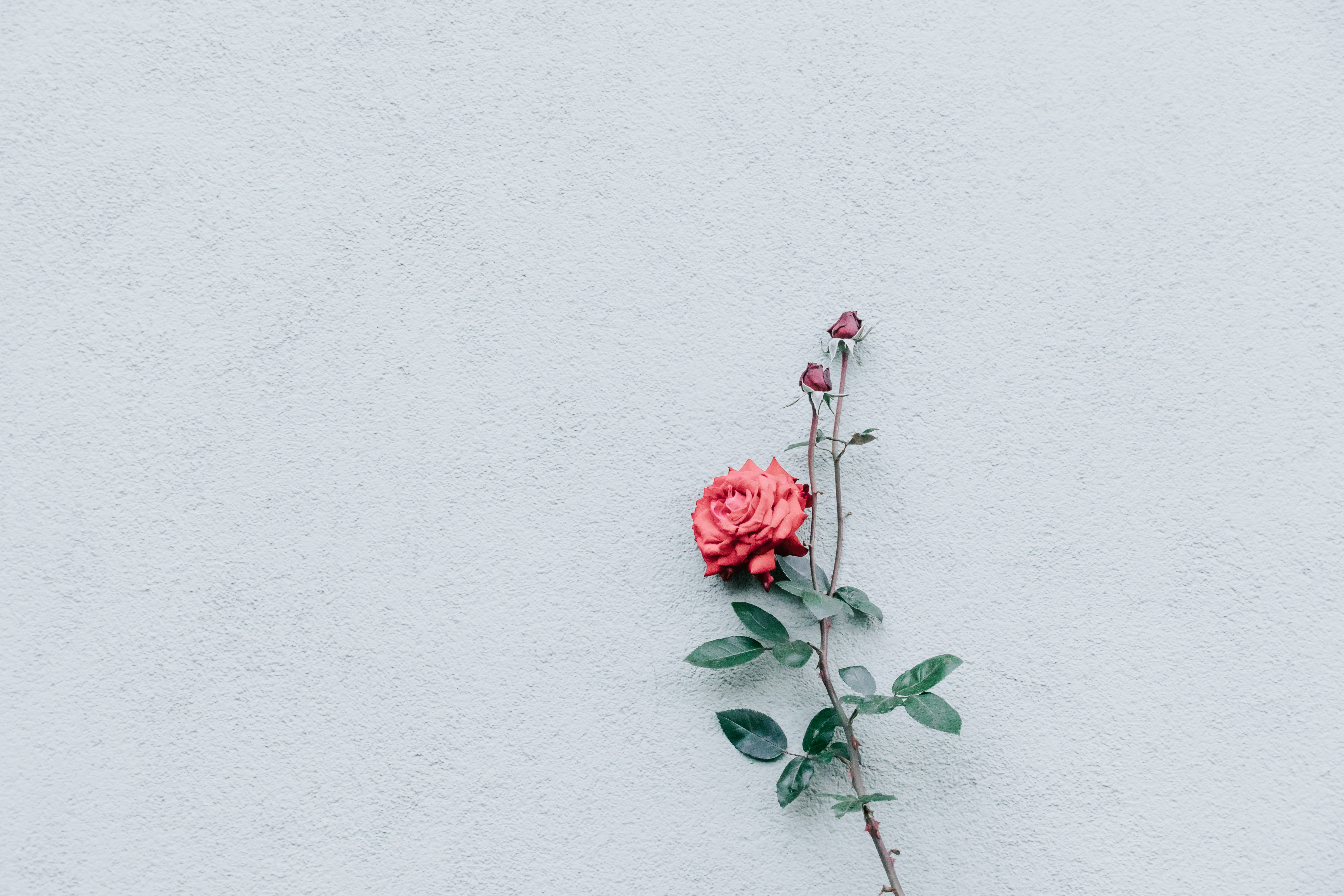 red rose on gray surface