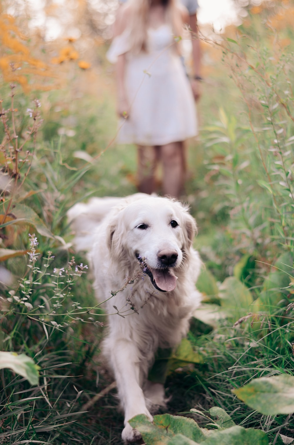 long-coated white dog walking on grass field