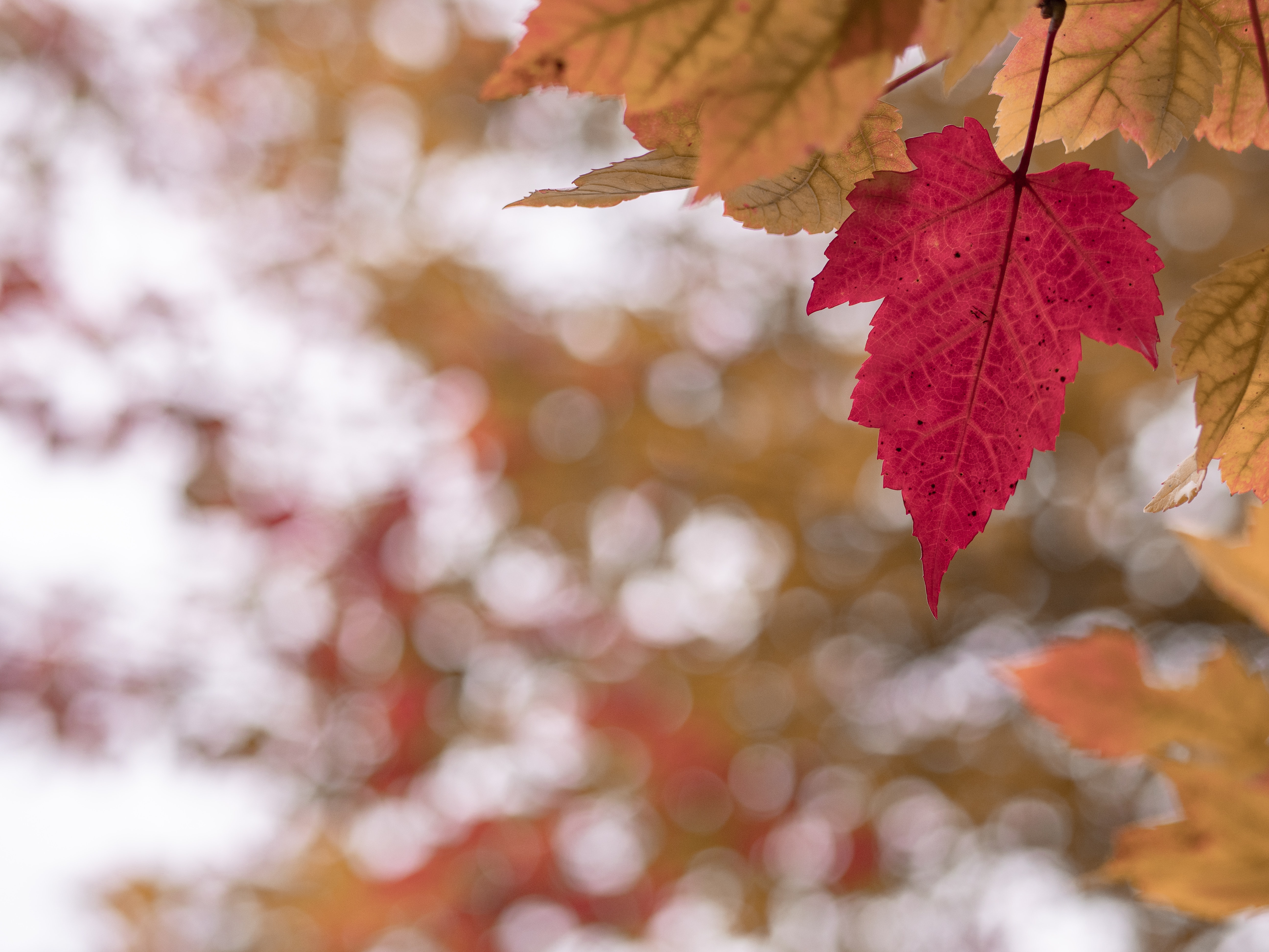 selective focus of maple leaves