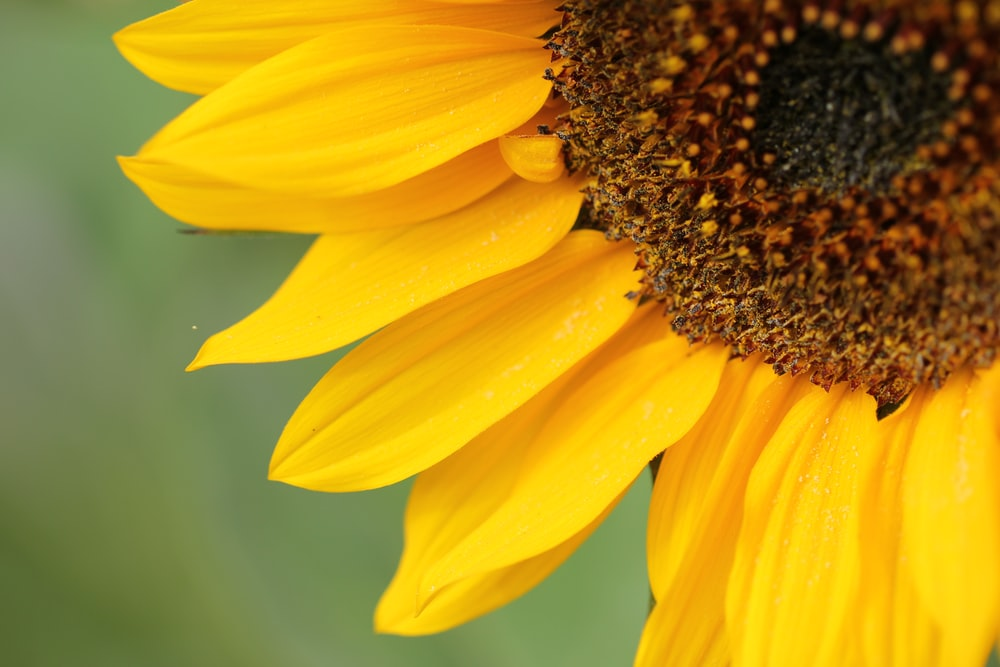 close-up photo of sunflower