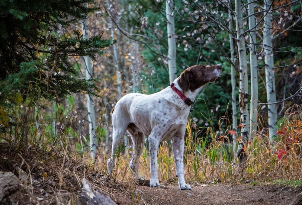 adult white and tan short-haired German pointer