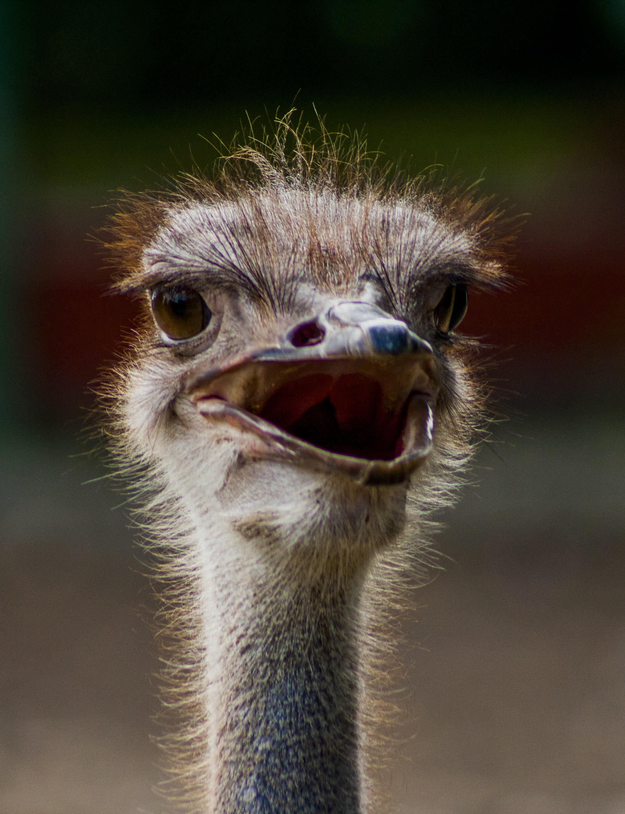 close-up photography of ostrich head