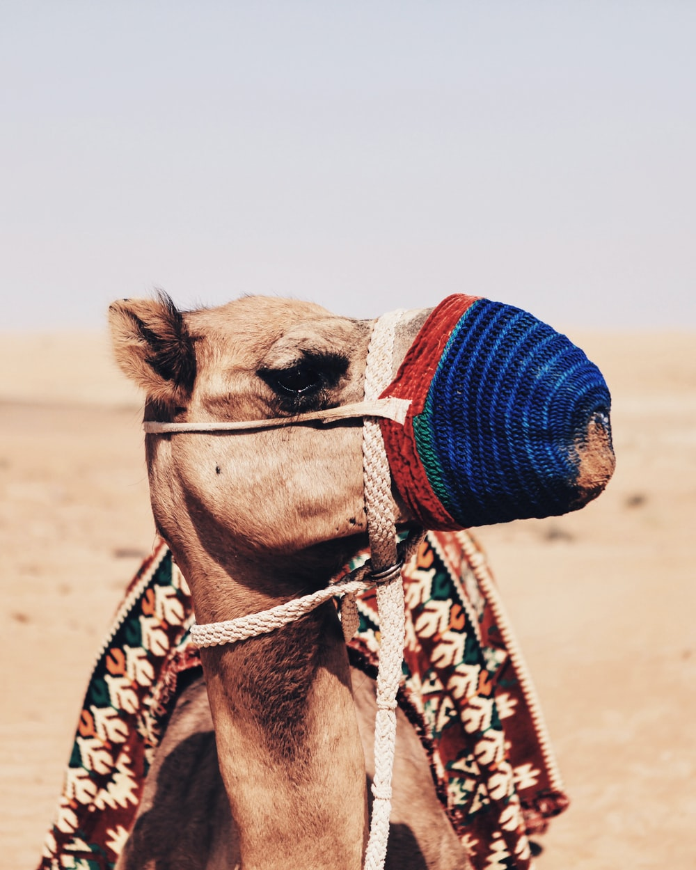 camel with blue and red mouth cover during daylight
