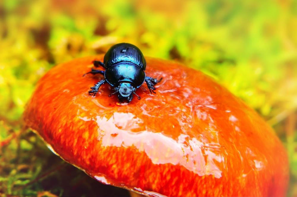 black beetle on round orange mushroom