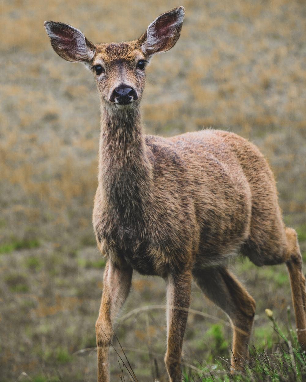one brown deer on brown field
