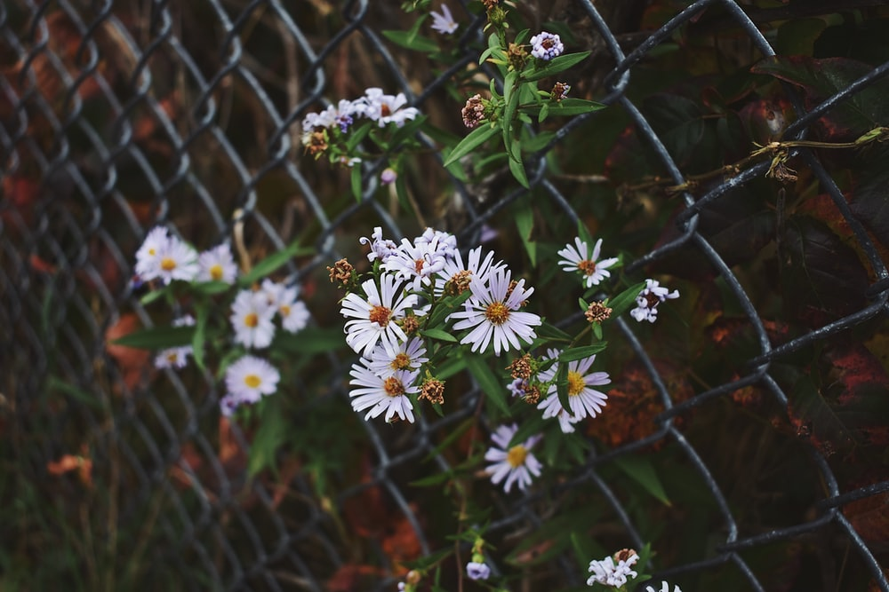 blooming white and yellow daisy flowers near gray stainless steel link fence