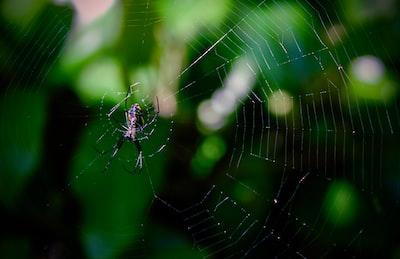spider on spider web trinidad and tobago zoom background