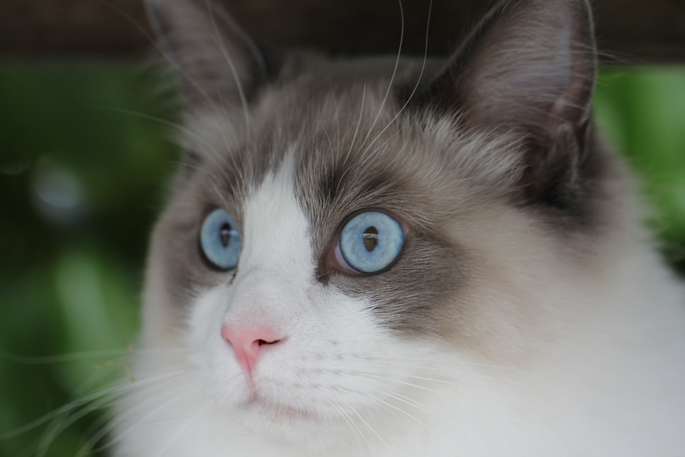 close view of blue eyed cat