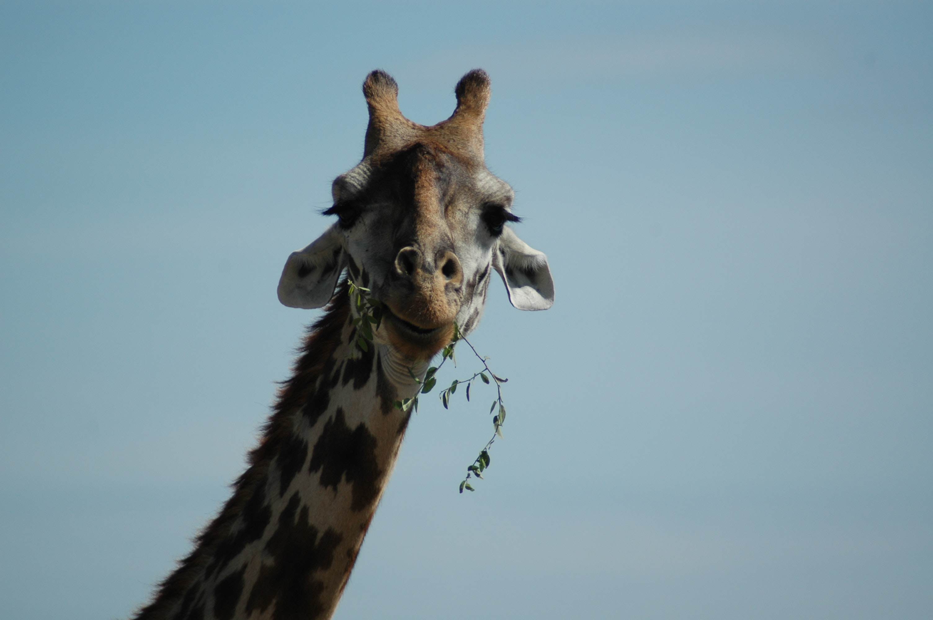selective color photography of brown giraffe