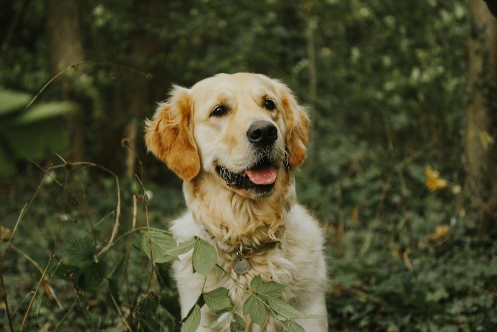yellow Labrador retriever on forest
