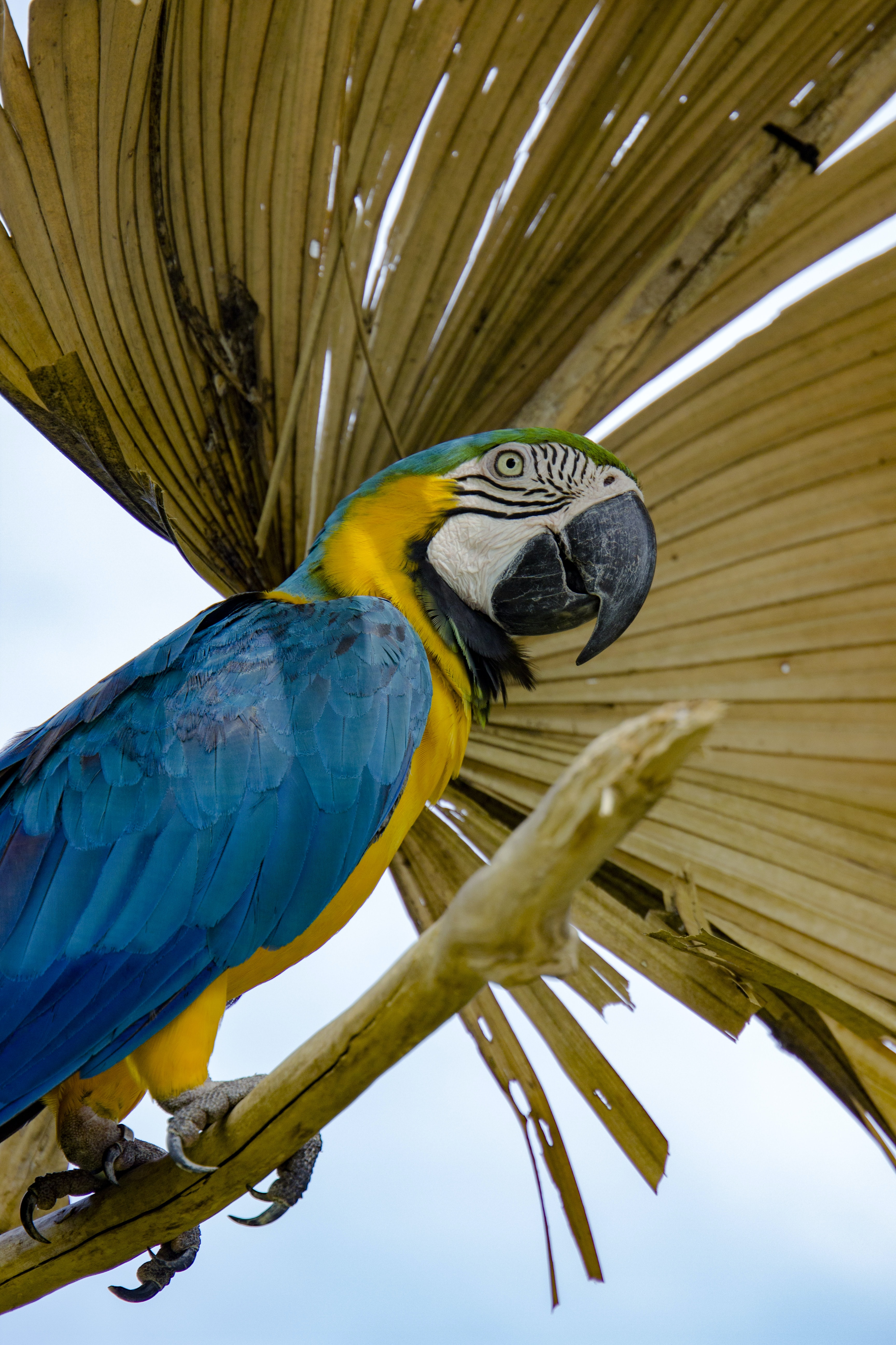 blue and yellow macaw on brown branch