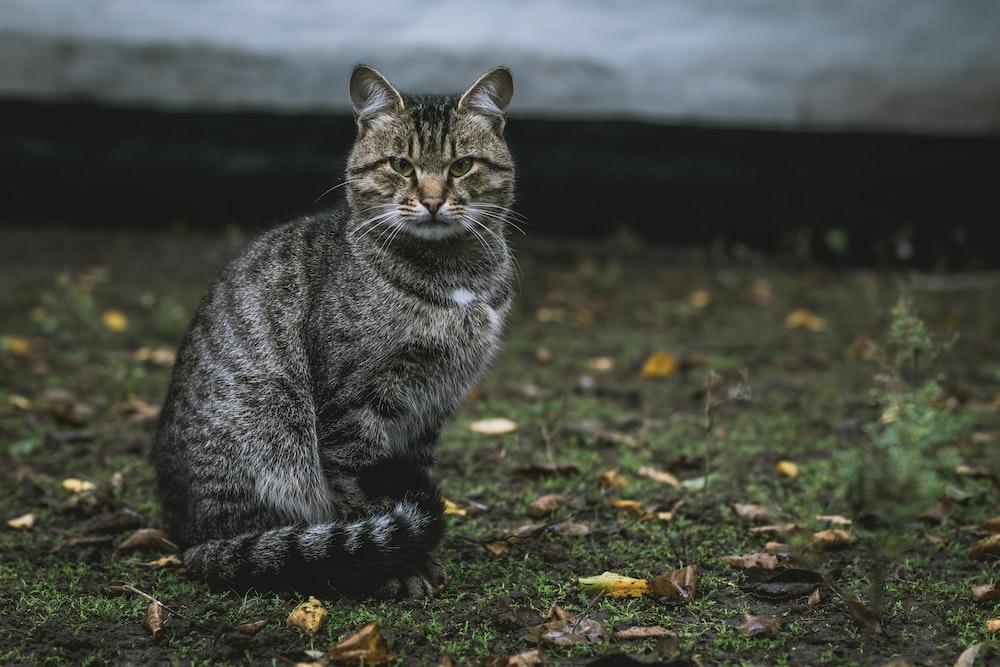 gray tabby cat on grass