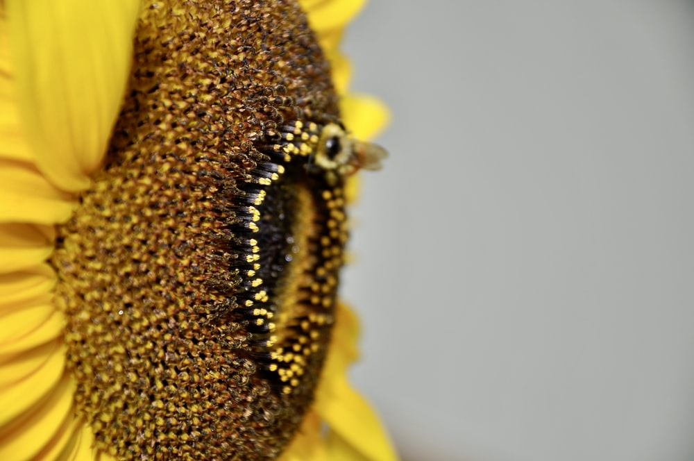 close-up photography of blooming sunflower during daytime