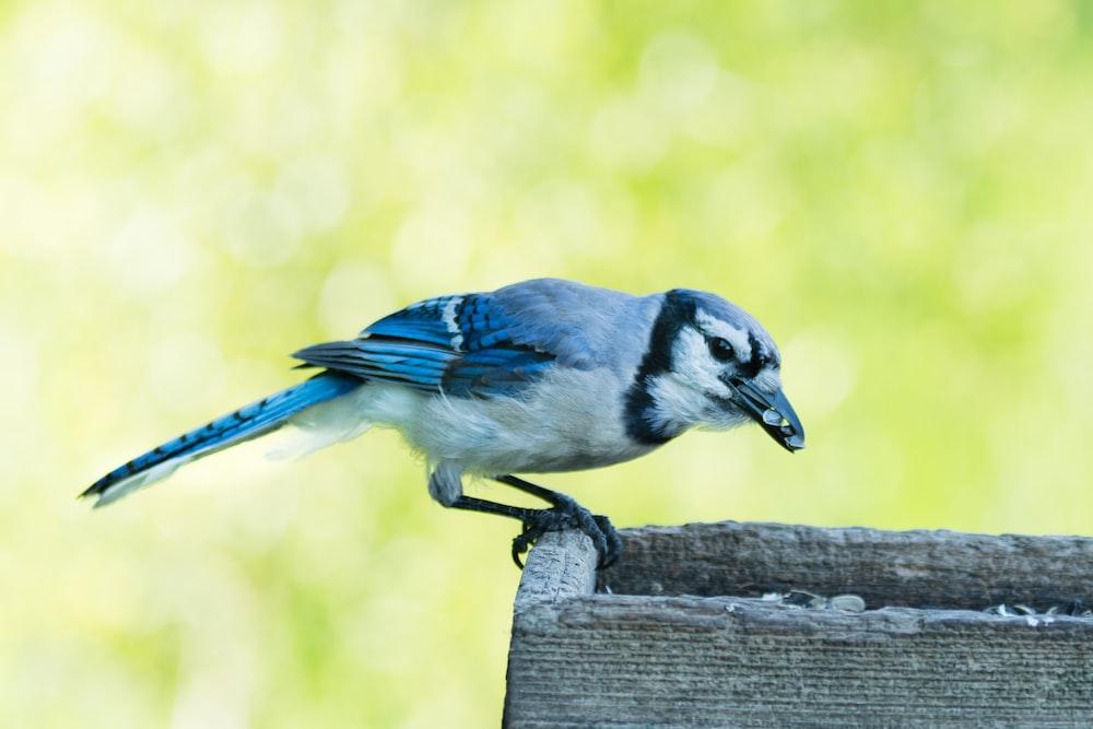 blue and white bird