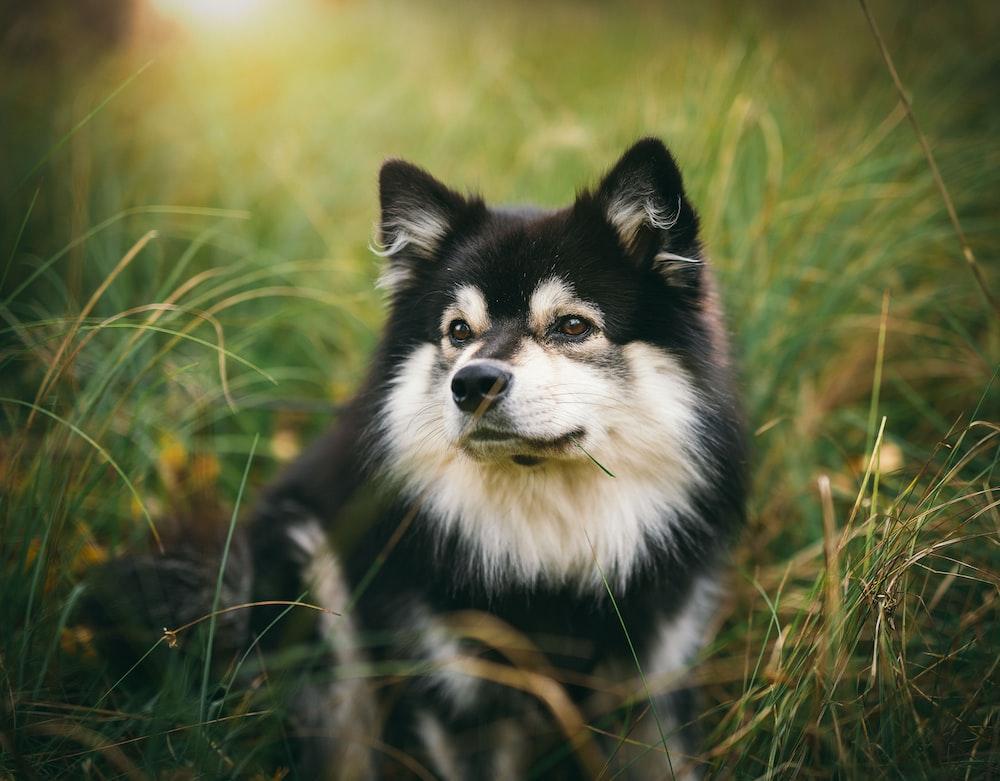 medium-coated black-and-white dog near grass during daytime