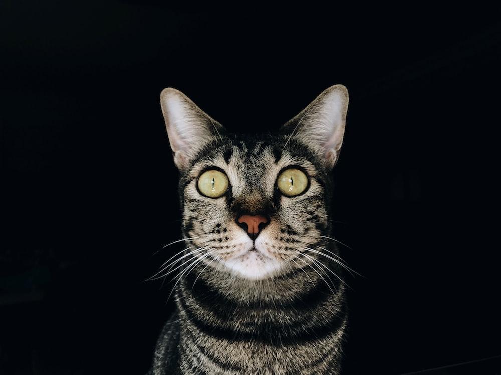 closeup photography of brown tabby cat