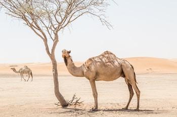 brown camel near bare tree at desert during daytime