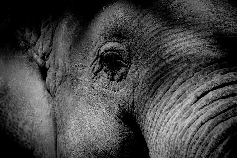 closeup photography of gray elephant