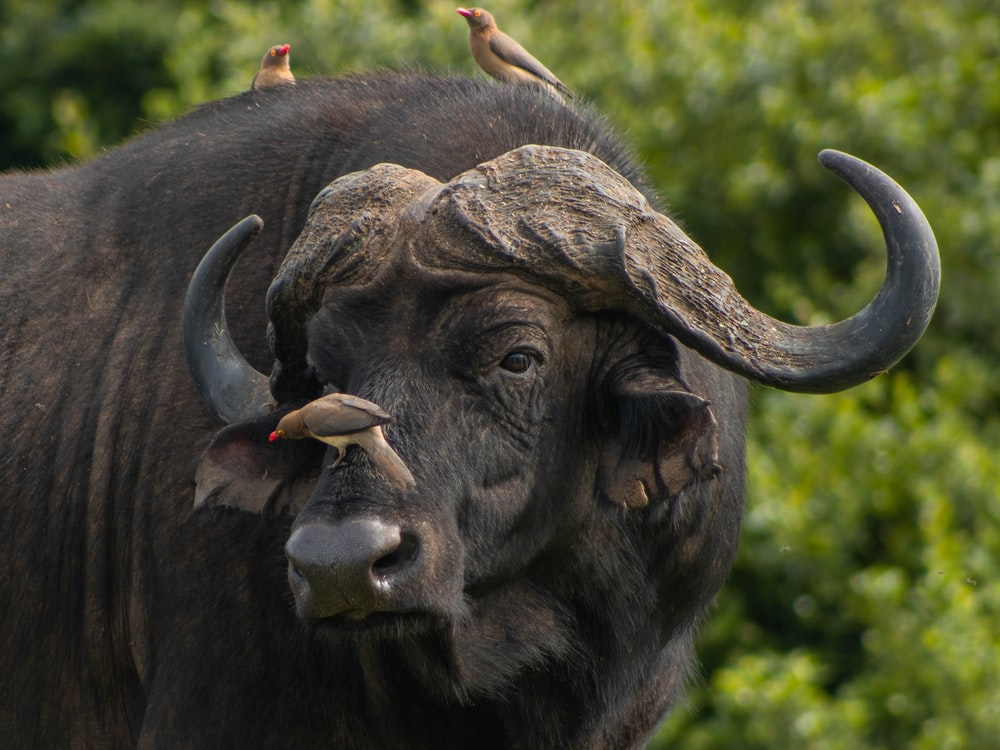 three brown birds perching on water buffalo face and back during daytime