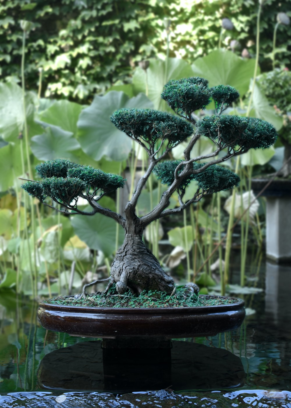 bonsai tree near body of water
