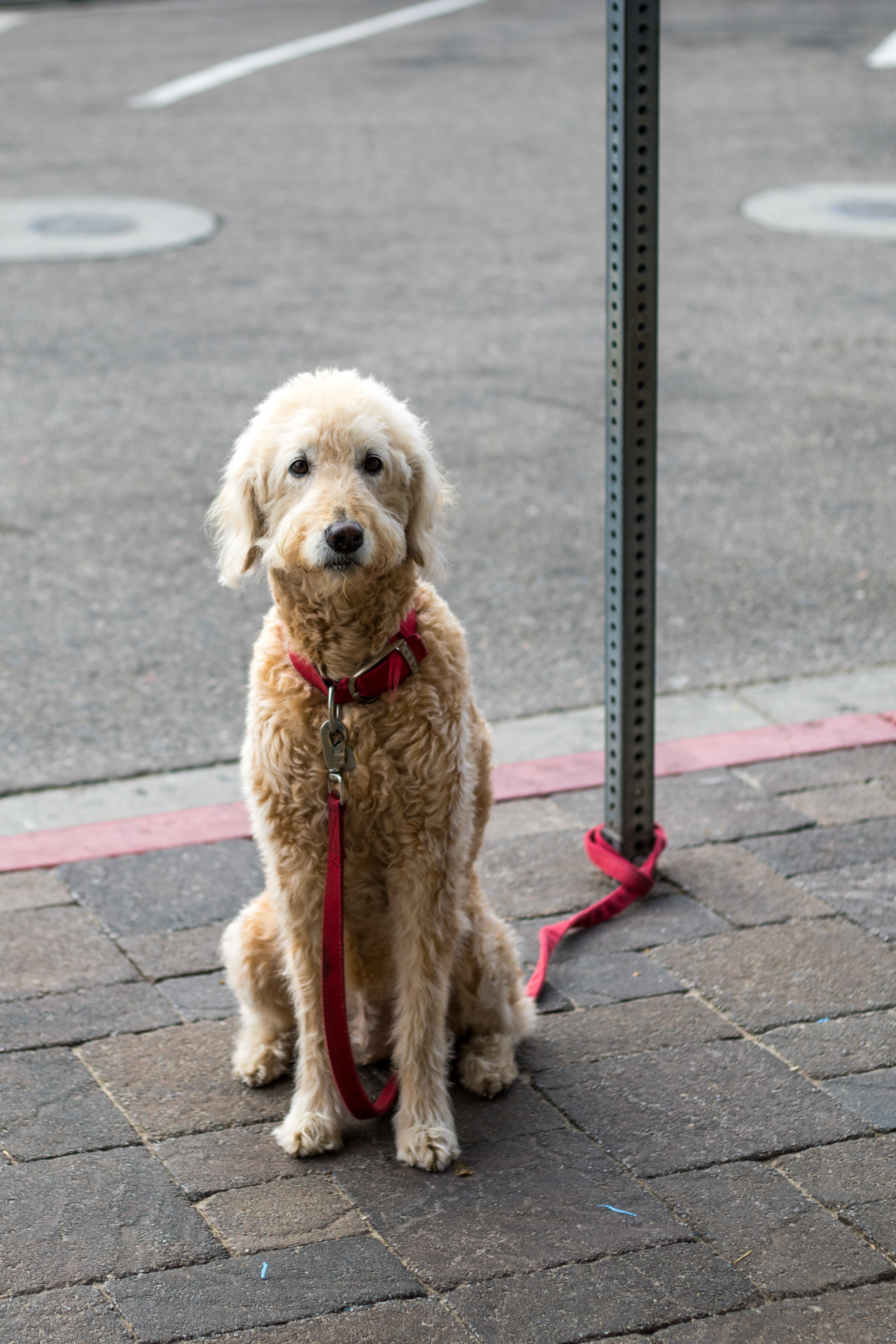 adult fawn standard poodle