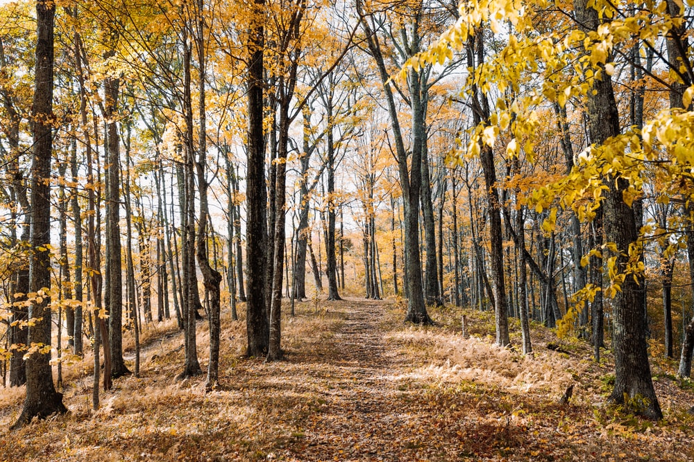 yellow-leafed trees