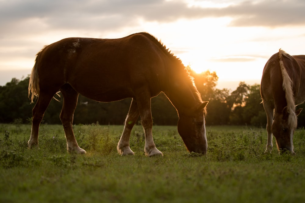 two brown horses eating grasses during golden hour