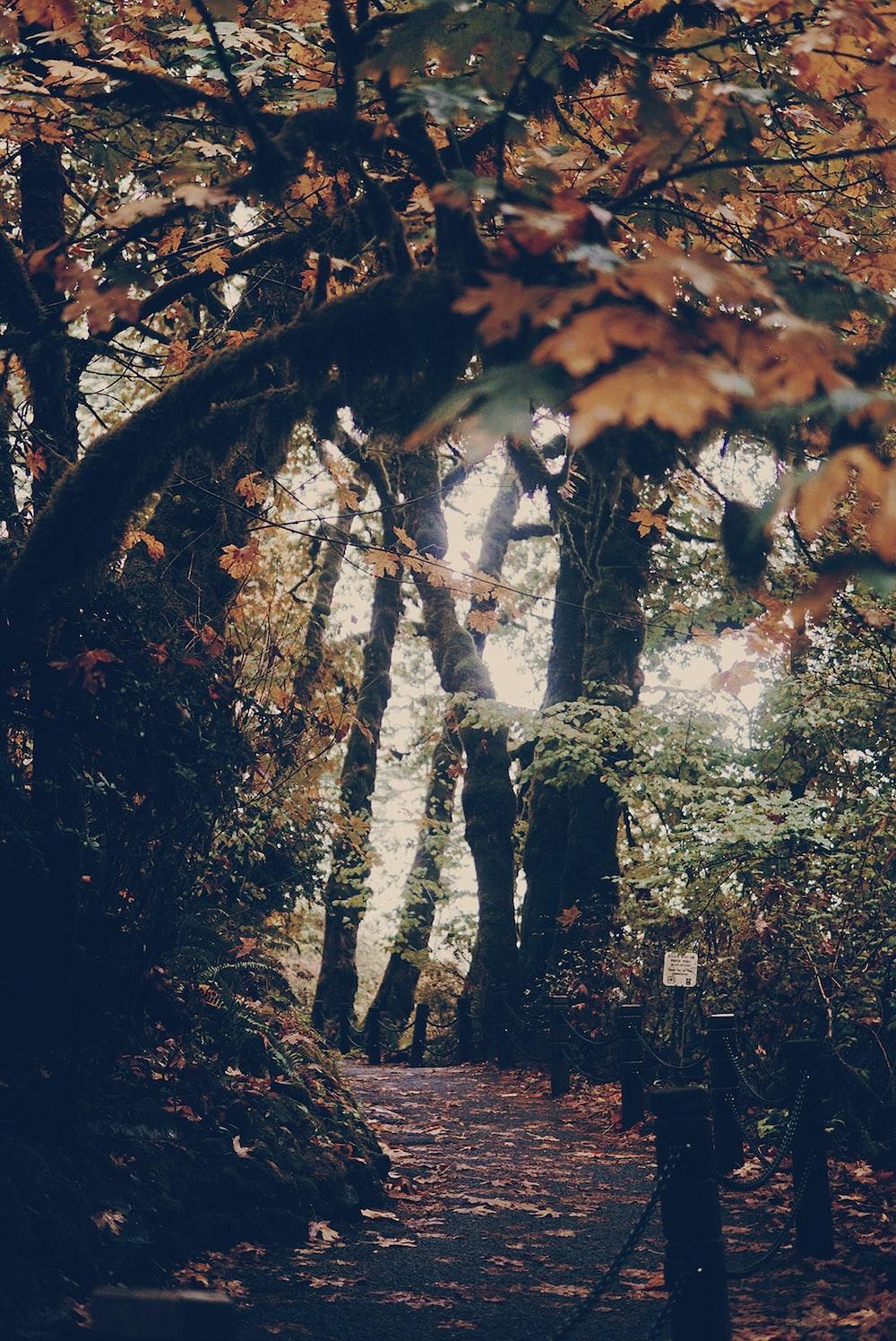 maple leaf trees