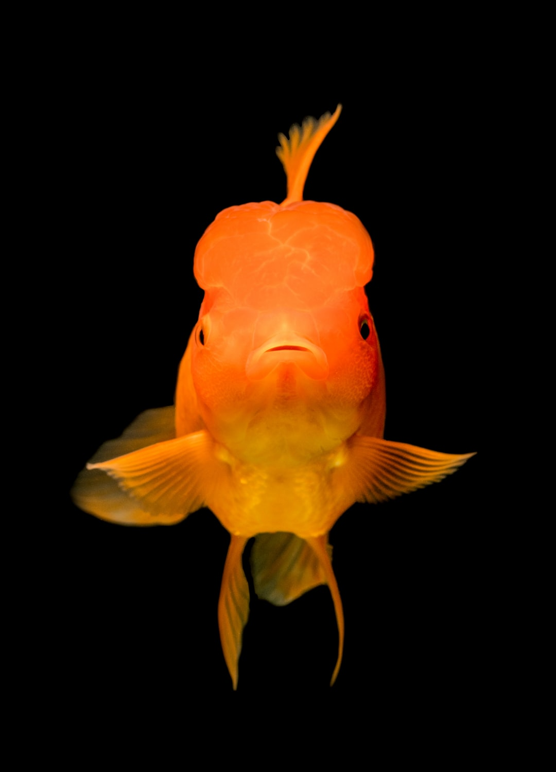 Goldfish are super cute in close up. First time taking goldfish photos and I just noticed how adorable they are.