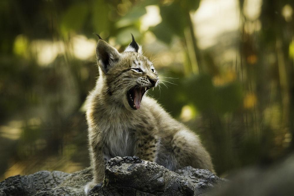 selective focus photography of lynx cub