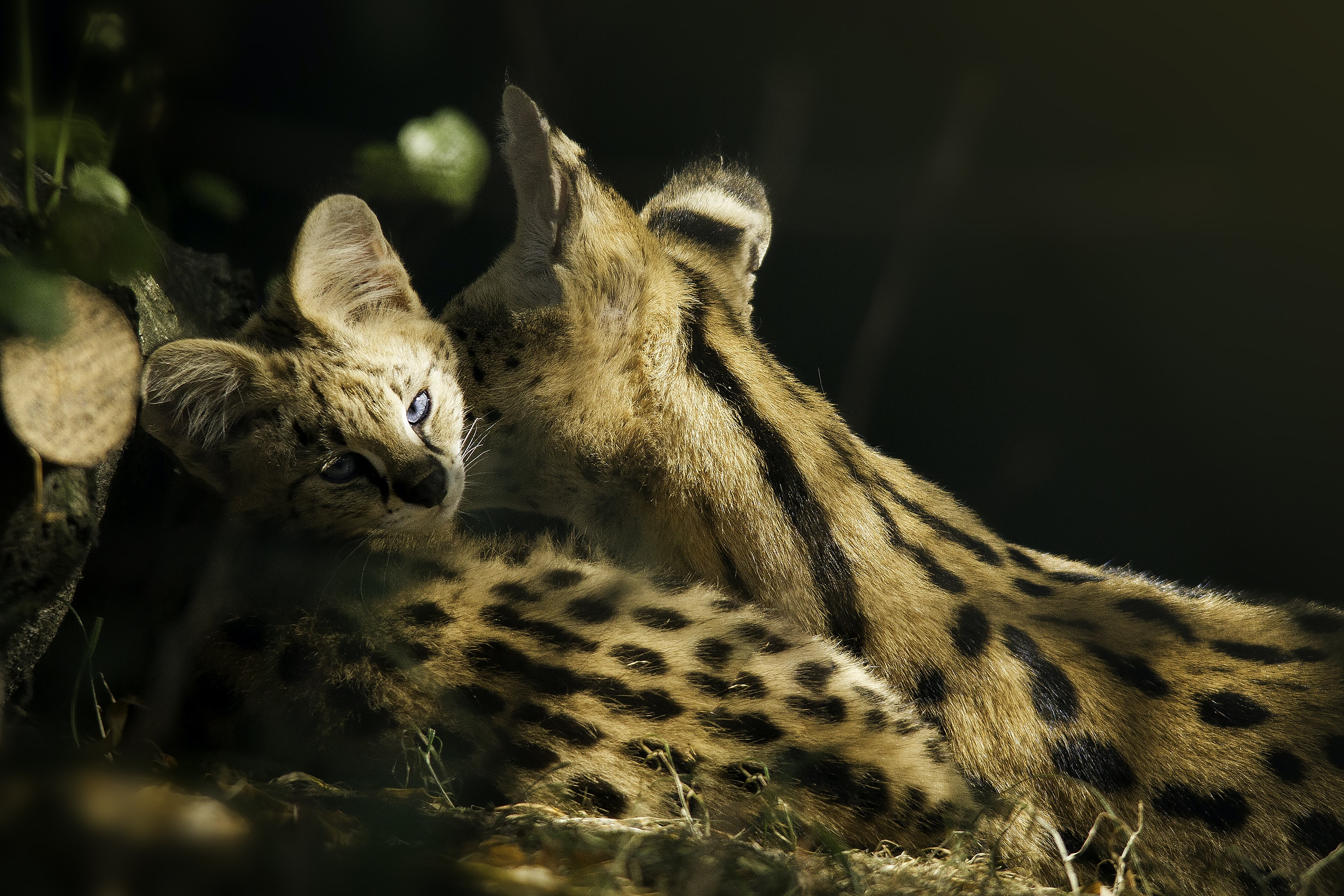 cheetah and cub on forest