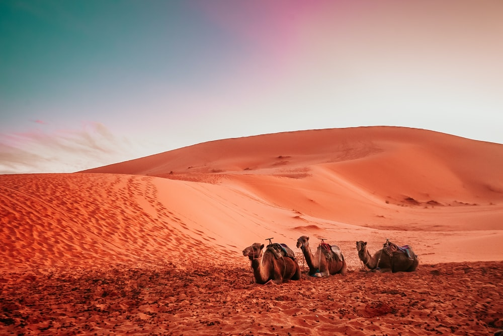 three camels lying on sand dune during twilight