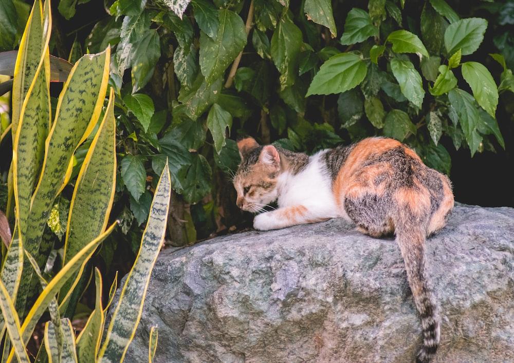 short-furred black, orange, and white cat sitting on gray rock beside gold snakeplant