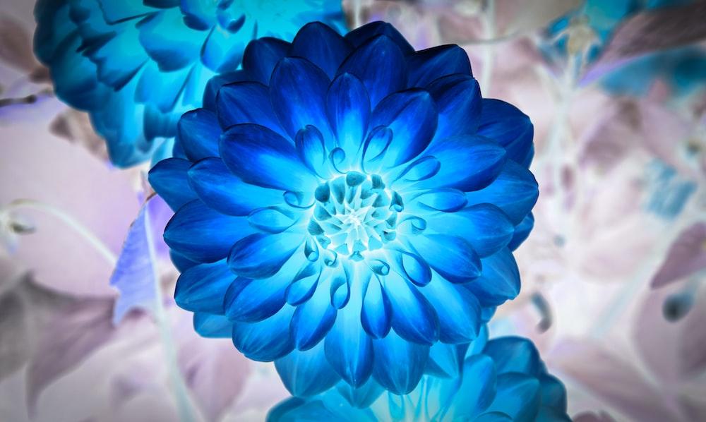 blue Dahlia flowers