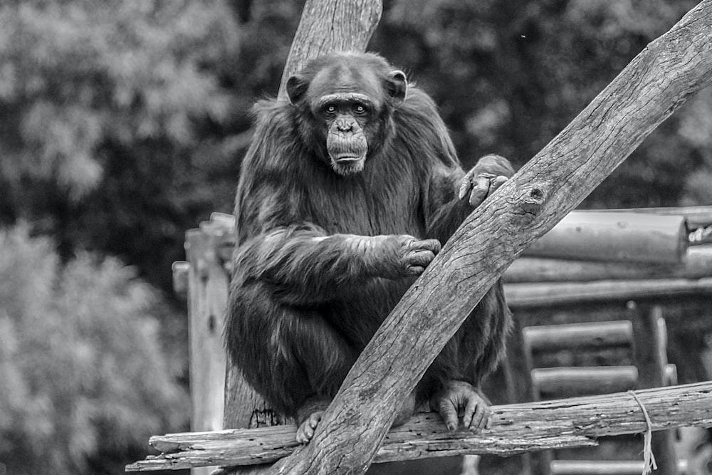 grayscale photo of monkey