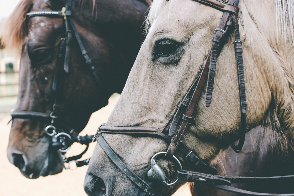 two white and brown horses