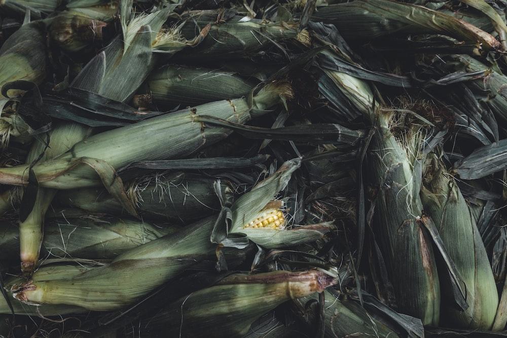 bunch of corncob